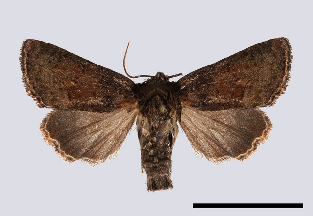 Tawny Marbled Minor (Oligia latruncula)