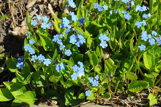 Blue-Eyed Mary (Omphalodes verna)