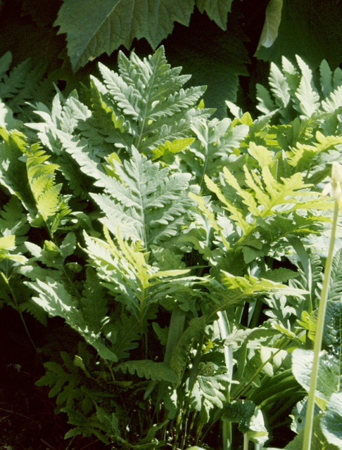 Sensitive Fern (Onoclea sensibilis)
