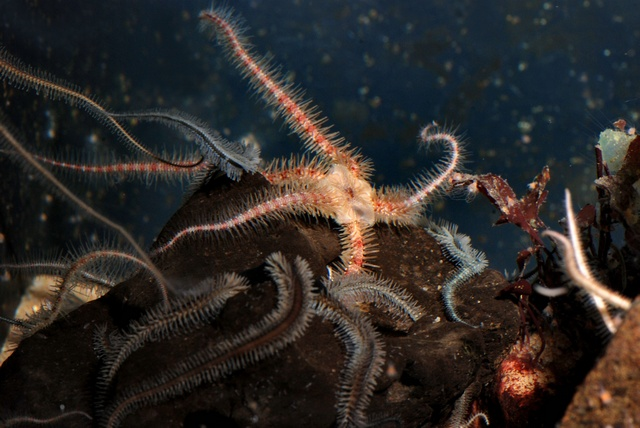 Common brittlestar (Ophiothrix fragilis)