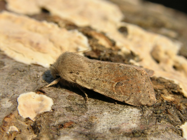 Small Quaker (Orthosia cruda)