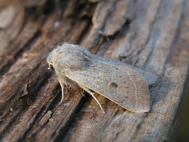 Powdered Quaker (Orthosia gracilis)