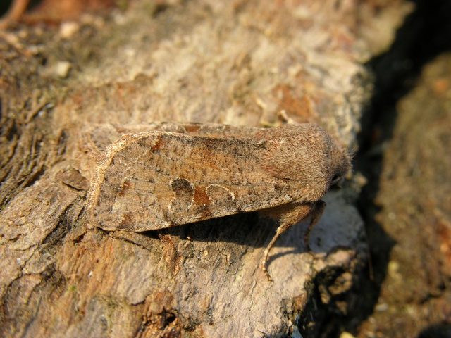 Clouded Drab (Orthosia incerta)