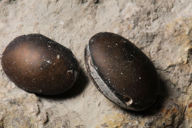 Ostracoda indet