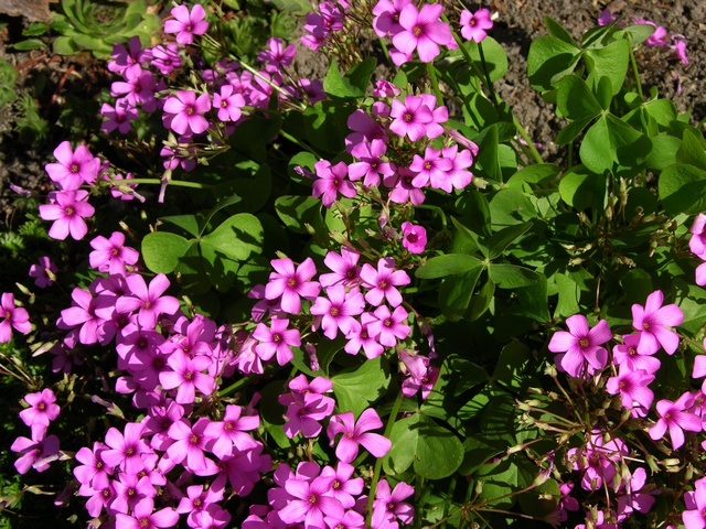 Red Wood-sorrel (Oxalis rubra)