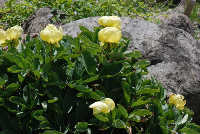 Paeonia mlokosewitschii photo