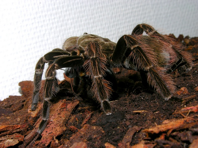 Pamphobeteus sp (Pamphobeteus sp platyomma)