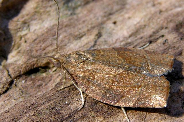 Dark Fruit-tree Tortrix (Pandemis heparana)