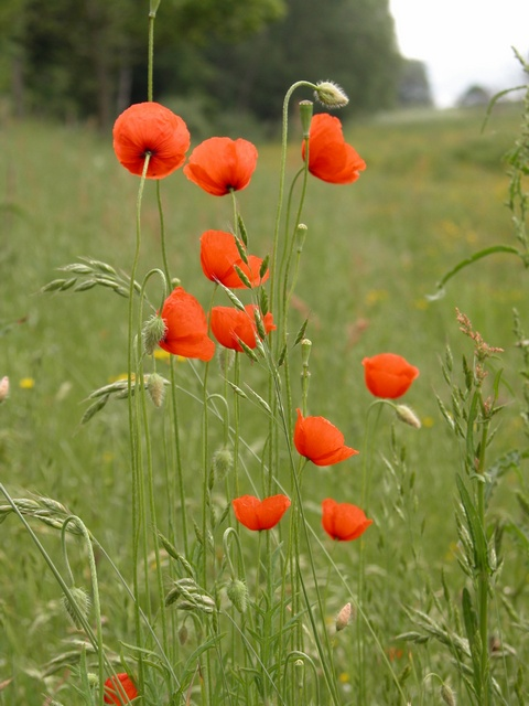 Long-Headed Poppy (Papaver dubium)