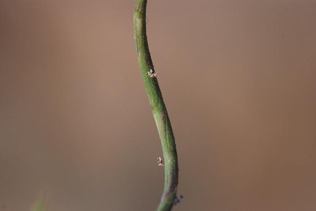 Aegilops incurva image