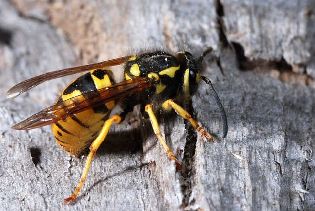 German yellow jacket wasp (Paravespula germanica)