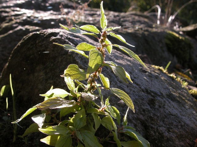 Parietaria (Parietaria officinalis)