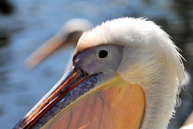 Great White Pelican (Pelecanus onocrotalus)