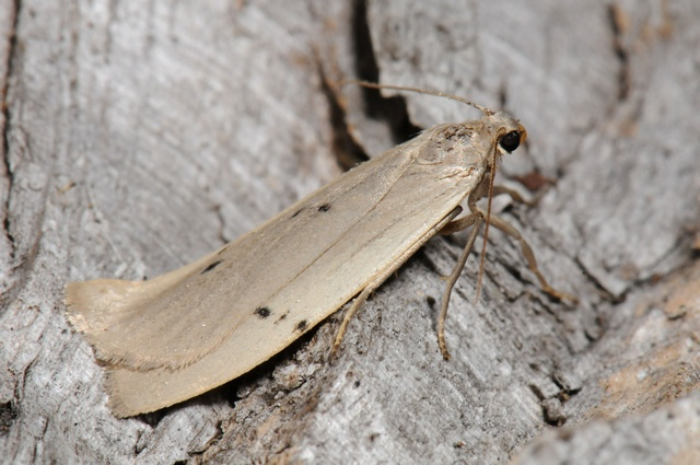 Dotted Footman (Pelosia muscerda)
