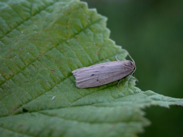 Small Dotted Footman (Pelosia obtusa)