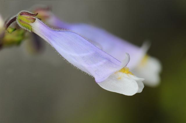 Penstemon watsonii