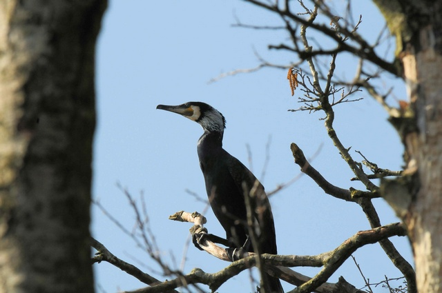 Phalacrocorax carbo sinensis