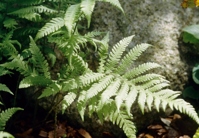 Beech Fern (Phegopteris connectilis)