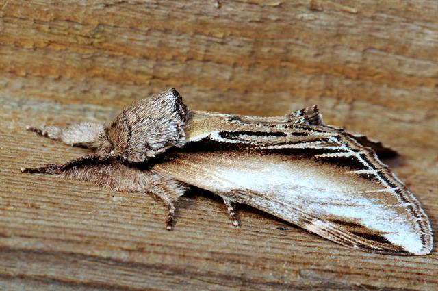 Greater Swallow Prominent (Pheosia tremula)