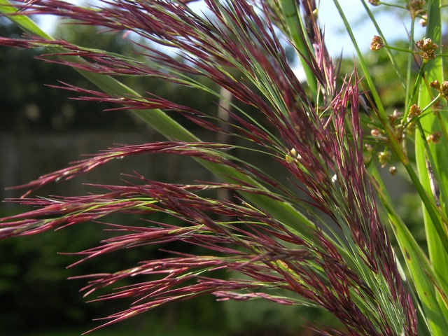 Image of Phragmites australis