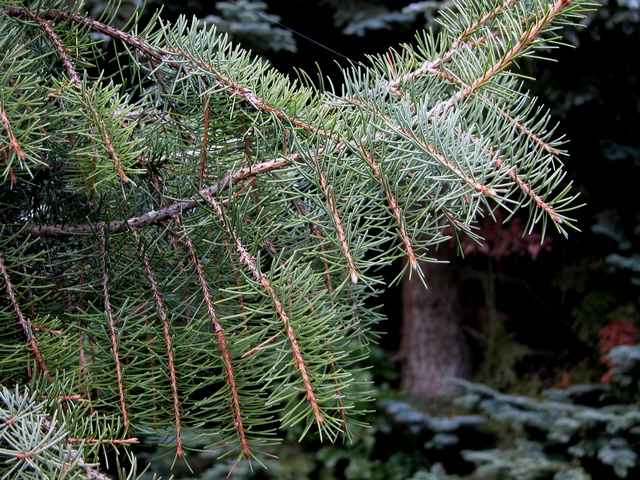 Brewer´s Weeping Spruce (Picea breweriana)