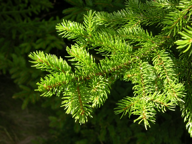 Red Spruce (Picea rubens)