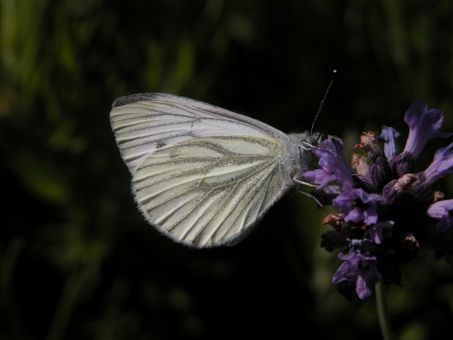 Green-veined White (Pieris napi)
