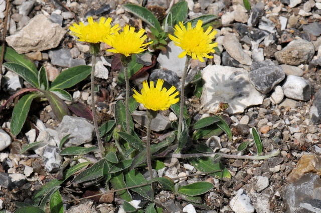 Mouse-Ear-Hawkweed (Pilosella officinarum)