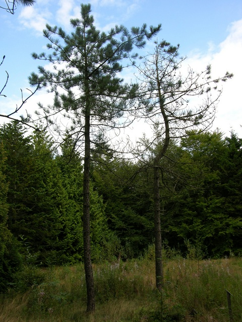 Red Pine, Norway Pine (Pinus resinosa)