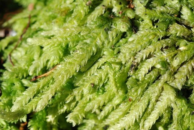Plagiotheciaceae image