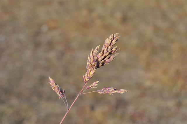 Alpine Meadow-Grass (Poa alpina)