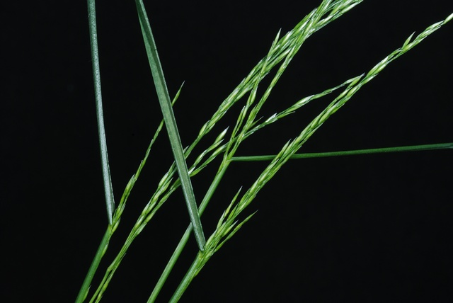 Image of Poa nemoralis