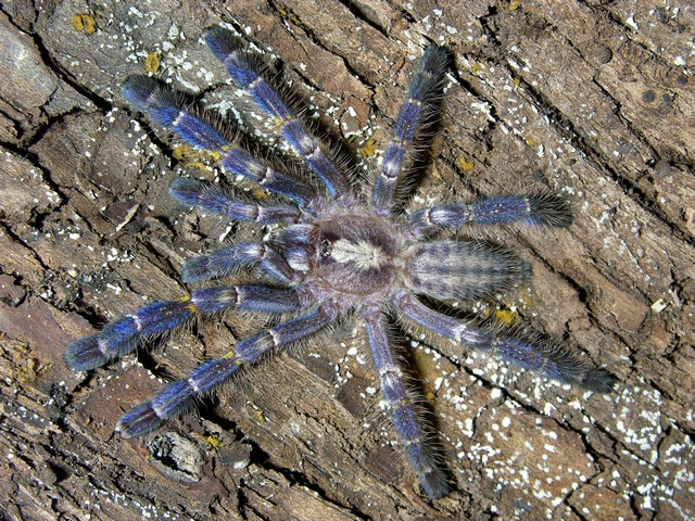 Indian ornamental Tarantula (Poecilotheria metallica)