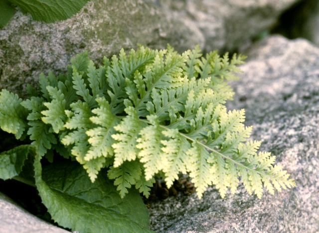 Polypodium australe (Cambricum Richard Kayse) photo