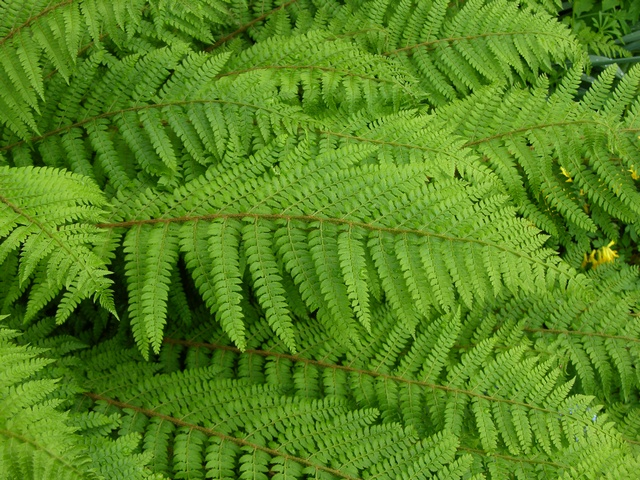 Shield-Fern (Polystichum setiferum)