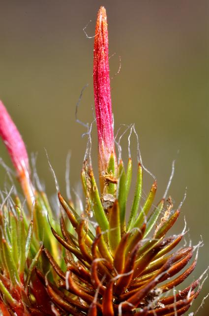 Bristly Haircap (Polytrichum piliferum)