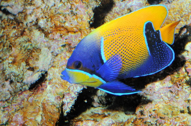 Bluegirdled angelfish (Pomacanthus navarchus)