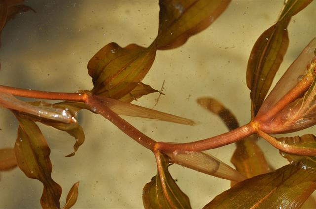 Various-Leaved Pondweed (Potamogeton gramineus)