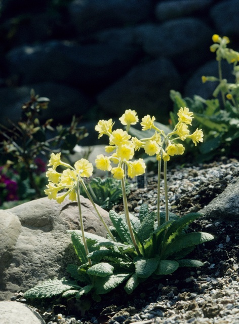 Primula elatior (Hose in hose) photo