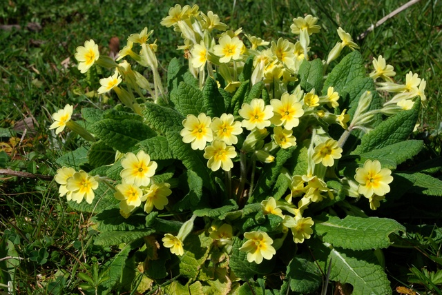 Primula veris x vulgaris photo