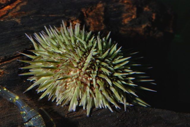 Green sea urchin (Psammechinus miliaris)