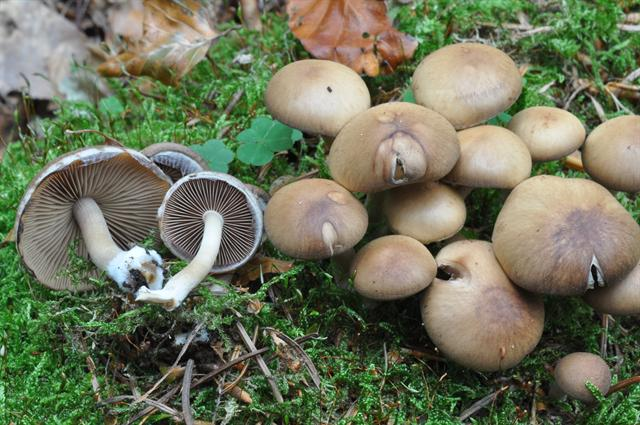 Common Stump Brittlestem (Psathyrella piluliformis)