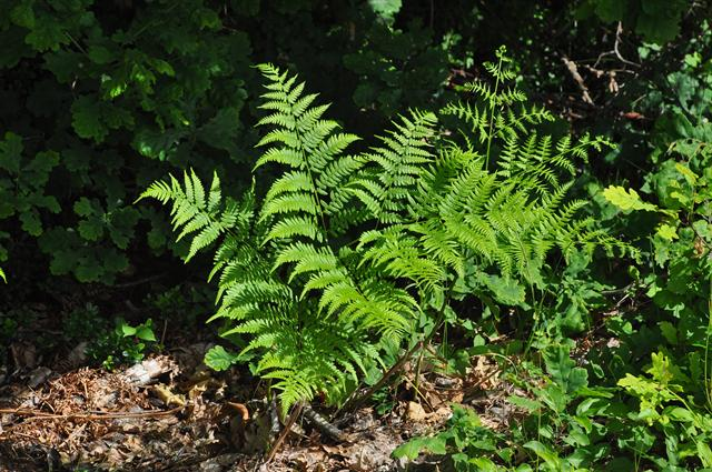 Bracken / Brake (Pteridium aquilinum)