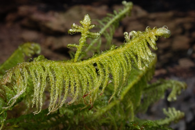 Ostrich-plume Feather-moss (Ptilium crista-castrensis)