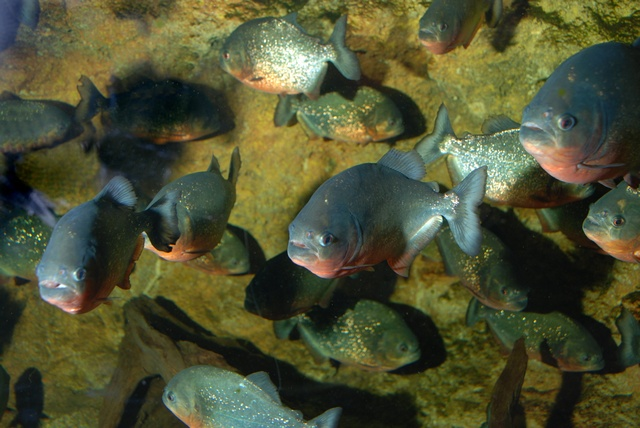 Red bellied piranha (Pygocentrus nattereri)