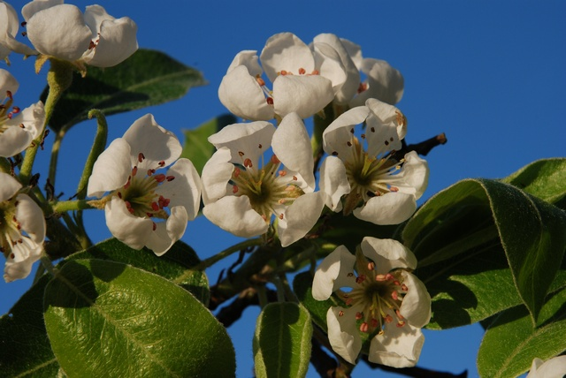 Cultivated Pear (Pyrus communis)