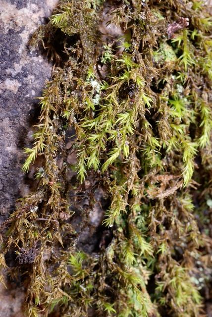 Green Mountain Fringe-moss (Racomitrium fasciculare)