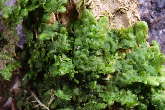 Even Scalewort (Radula complanata)