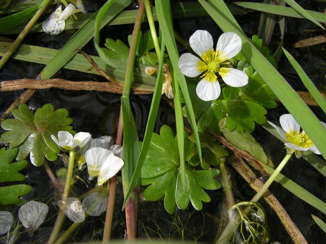 Common Water Crowfoot (Ranunculus aquatilis)