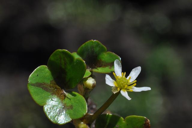 Ivy-leaved Crowfoot (Ranunculus hederaceus)